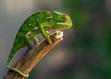 Kameleon na kiju Zdjęcie Royalty Free