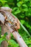 Kameleon na ochronie od suchego drzewa Obraz Royalty Free