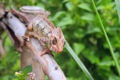 Kameleon na ochronie od suchego drzewa Złocisty Mauntin, Suarez, Madagascar Zdjęcie Stock