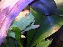 Kameleon na tle ulistnienie Obrazy Royalty Free