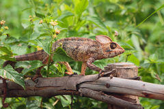 Kameleon op bescherming tegen boom Royalty-vrije Stock Foto