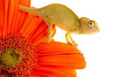 Kameleon op bloem. royalty-vrije stock foto