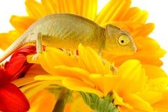 Kameleon op bloem stock afbeelding