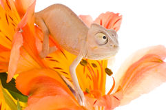 Kameleon op bloem Royalty-vrije Stock Foto's
