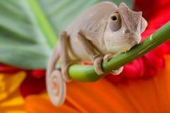 Kameleon op bloem. stock foto's