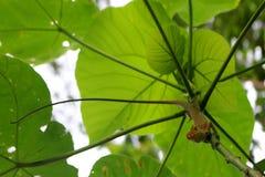 Kameleon op de bomen stock afbeelding