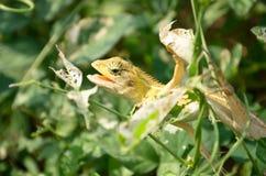 Kameleon op de boom Royalty-vrije Stock Fotografie