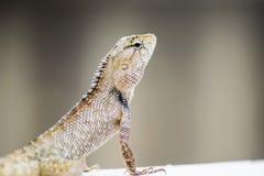 Kameleon op de Muur Royalty-vrije Stock Afbeeldingen