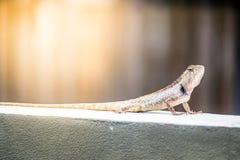 Kameleon op de Muur Royalty-vrije Stock Fotografie