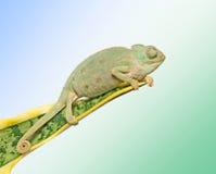 Kameleon op een blad stock afbeeldingen