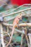 Kameleon op een boom wordt neergestreken die Stock Fotografie