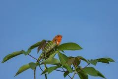 Kameleon op een boomtak royalty-vrije stock foto