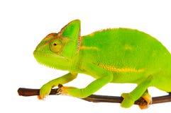Kameleon op een tak Royalty-vrije Stock Afbeelding