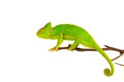 Kameleon op een tak Stock Afbeelding