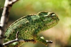 Kameleon op een tak onder de zon stock foto