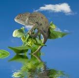 Kameleon op groene tak. Stock Afbeeldingen