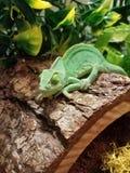 Kameleon op logboek Stock Afbeelding