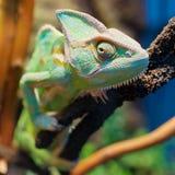 Kameleon op tak stock fotografie