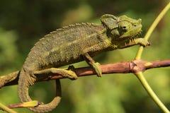 Kameleon op tak Stock Foto's