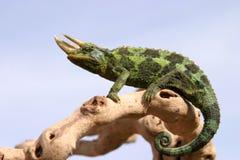 Kameleon op tak met blauwe hemel Stock Fotografie