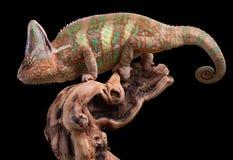 Kameleon op wijnstok Stock Afbeelding