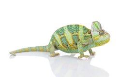 Kameleon op witte achtergrond Stock Foto's