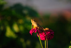 Kameleon op Zinnia Royalty-vrije Stock Afbeelding