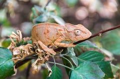 Kameleon Oustalet Zdjęcie Stock