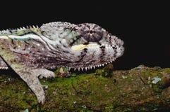 kameleon pantera Obrazy Stock