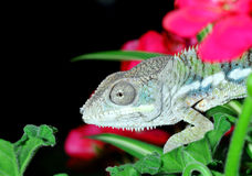 kameleon pantera Zdjęcia Stock