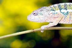 kameleon pantera Obraz Royalty Free