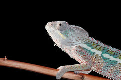 kameleon pantera Obrazy Royalty Free