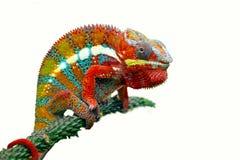 Kameleon pantera na gałąź z białym tłem fotografia royalty free