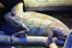 kameleon przesłaniający Fotografia Stock