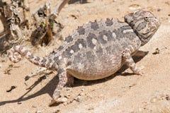 kameleon pustynia Zdjęcia Royalty Free