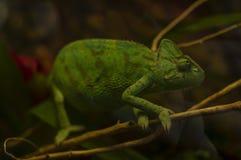 Kameleon siedzi na gałąź drzewo Czarny tło obrazy royalty free