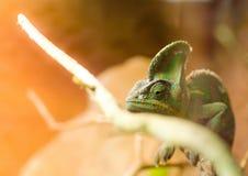 Kameleon stawia czoło gałąź Zdjęcie Royalty Free