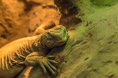 Kameleon stawia czoło gałąź Obraz Royalty Free