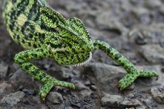 Kameleon - strzelający w Gujarat, India Fotografia Royalty Free