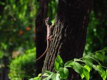 Kameleon - Tajlandia - Na drzewie w parku Zdjęcia Royalty Free
