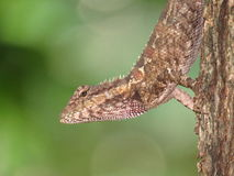 Kameleon - Tajlandia - Na drzewie w parku Obrazy Stock