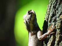 Kameleon - Tajlandia - Na drzewie w parku Zdjęcie Stock