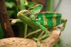 Kameleon in terrarium van de botanische tuin royalty-vrije stock fotografie