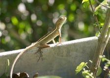 Kameleon in tuin Stock Afbeeldingen