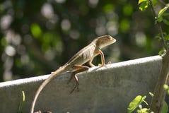 Kameleon in tuin Stock Afbeelding