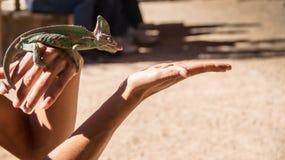 Kameleon vlak alvorens een worm op woman& x27 te jagen; s hand Aanvang om zijn tong uit te plakken stock fotografie