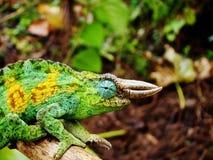 Kameleon w Afryka Obrazy Royalty Free