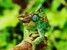 Kameleon w Afryka Zdjęcie Stock