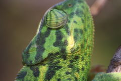 Kameleon w akci Obraz Stock