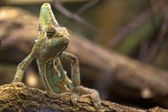 Kameleon w dzikim Fotografia Stock